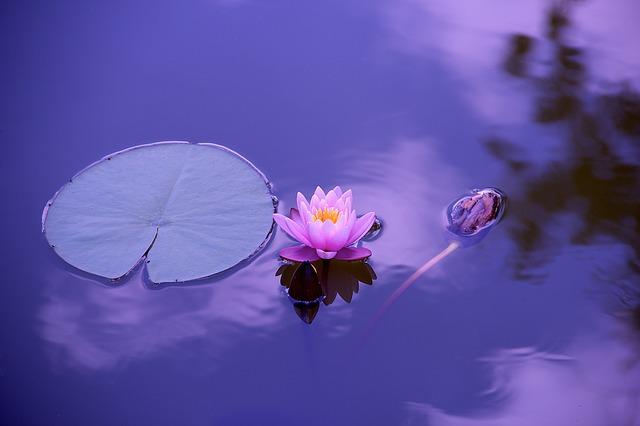 水面に浮かぶ蓮の花